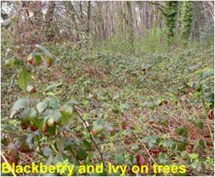Blackberry and ivy on trees