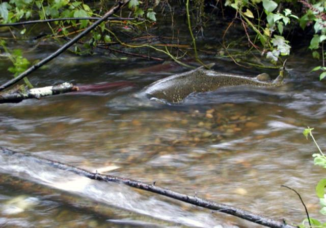 Salmon in creek swimming upstream
