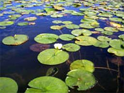 Invasive Fragrant Water Lily